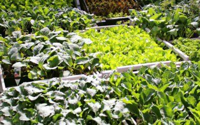 Setzlinge für Ihr Gemüsebeet